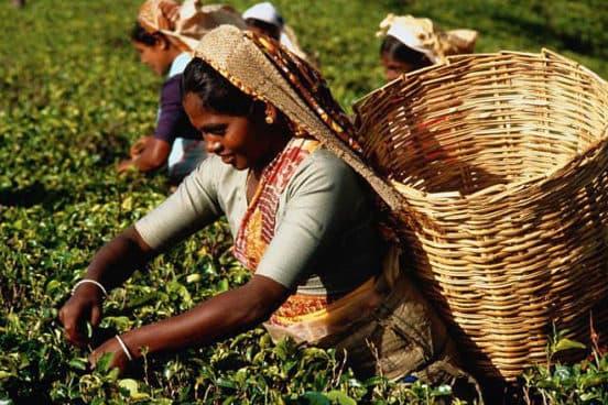 Сбор чая на Шри Ланке турфирма You Travel (Витебск)